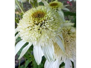 "Эхинацея ""Echinacea White Double Delight"" Уайт Дабл Делайт"