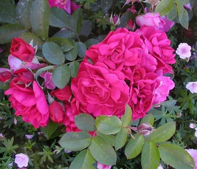 Роза хансаланд фото и описание